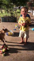 Goat Roughhousing soyboy thumb313