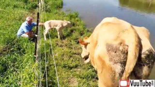 Man Saves a Newborn Calf thumb13714