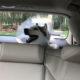Post-Op Drunk Husky Howling